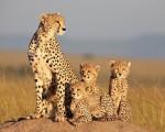 Африканские кошки: Королевство смелости